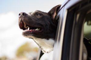 Czy w samochodzie z wypożyczalni można przewozić zwierzęta